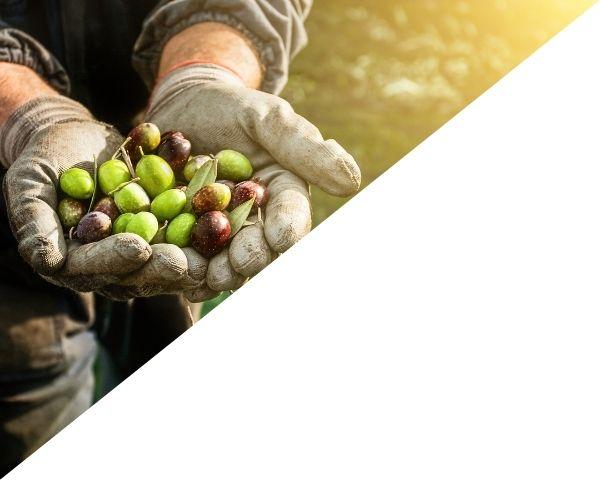 Greek Extra Virgin Olive Oil Wholesale Rhodes